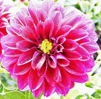 Moisture On Plants Photograph - Dew - Pink - Dahlia by D Hackett