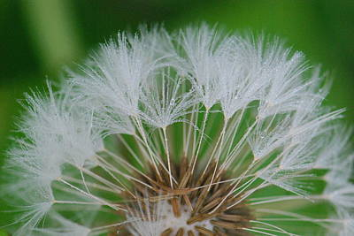 Photograph - Dew On Wishes by Amy Porter