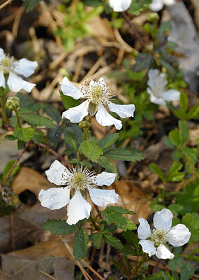 Photograph - Dewberry Flower by Charles Beeler