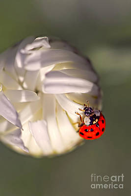 Photograph - Dewdrop Ladybug by Sharon Talson
