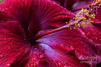 Photograph - Dewdrops On Hibiscus by Gene Berkenbile