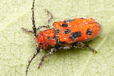Photograph - Dewy Milkweed Beetle by Clarence Holmes