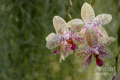 Photograph - Dewy Orchids by Living Color Photography Lorraine Lynch