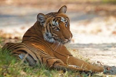 Photograph - Dhikala Tigress by David Beebe