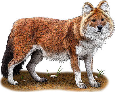 Photograph - Dhole, Cuon Alpinus, Illustration by Roger Hall