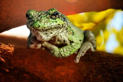 Photograph - Diabolic Frog by Emily Stauring