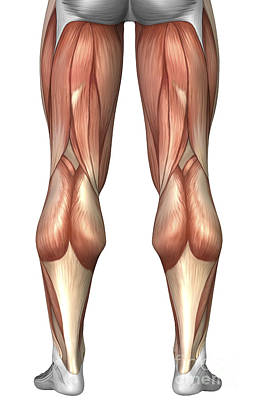 Tendon Digital Art - Diagram Illustrating Muscle Groups by Stocktrek Images