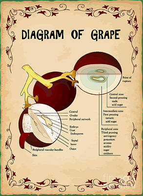 Diagram Of Grape Print by Indian Summer