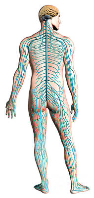 Ulnar Nerves Digital Art - Diagram Of Human Nervous System by Leonello Calvetti
