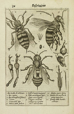 Diagrams Showing The Anatomy Of A Bee Art Print