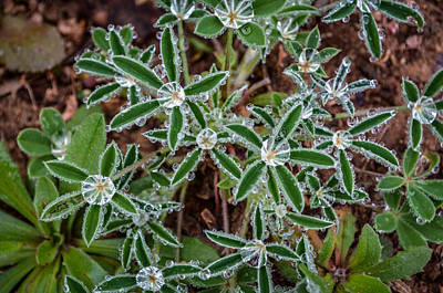 Photograph - Diamond Flowers by Kelly Kitchens