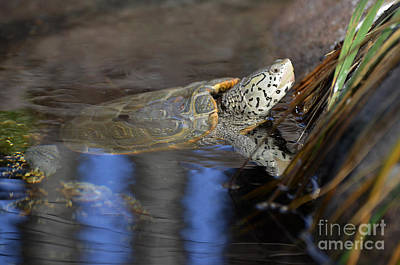 Photograph - Diamondback Terrapin Turtle by Kathy Baccari