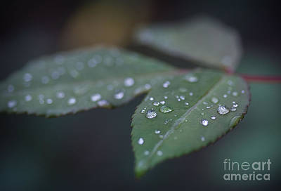 Photograph - Diamonds On Rose Leaves by Morgan Wright