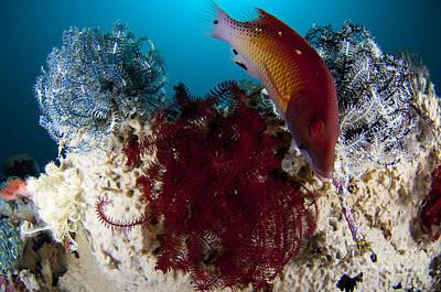 Dianas Hogfish Swimming Between Three Art Print