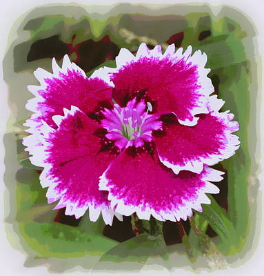 Photograph - Dianthus Barbatus 2 by Sheri McLeroy