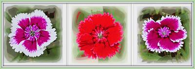 Photograph - Dianthus Barbatus by Sheri McLeroy