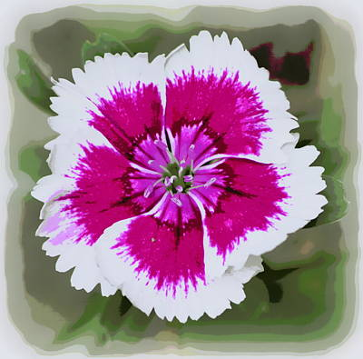Photograph - Dianthus Barbatus1 by Sheri McLeroy