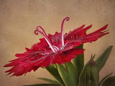 Photograph - Dianthus by David and Carol Kelly