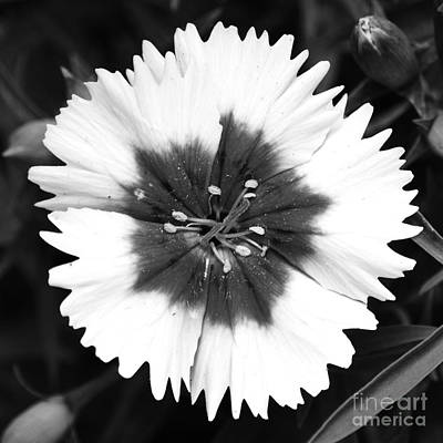 Photograph - Dianthus Flower Decor Macro Square Format Black And White by Shawn O'Brien