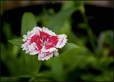 Photograph - Dianthus Fower by Tyra  OBryant
