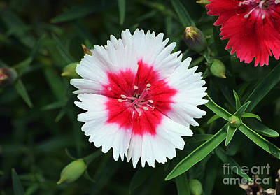Digital Art - Dianthus Red And White Flower Decor Macro Accented Edges Digital Art by Shawn O'Brien