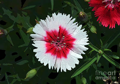 Digital Art - Dianthus Red And White Flower Decor Macro Cutout Digital Art by Shawn O'Brien