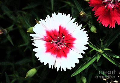 Digital Art - Dianthus Red And White Flower Decor Macro Fresco Digital Art by Shawn O'Brien