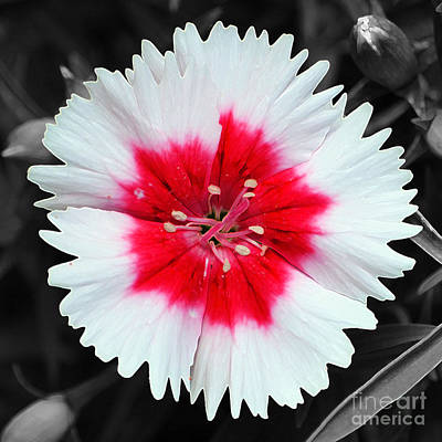 Digital Art - Dianthus Red And White Flower Decor Macro Square Format Color Splash Accented Edges Digital Art by Shawn O'Brien