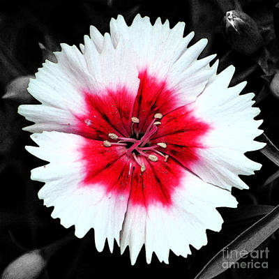 Digital Art - Dianthus Red And White Flower Decor Macro Square Format Fresco Color Splash Black And White by Shawn O'Brien
