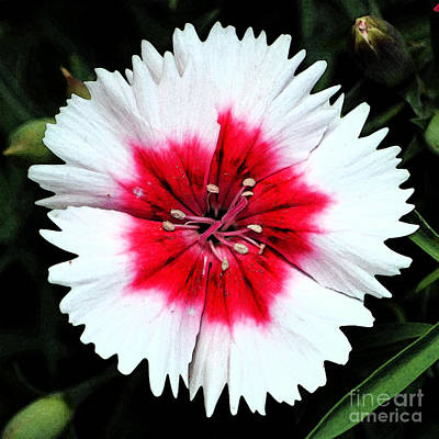 Digital Art - Dianthus Red And White Flower Decor Macro Square Format Fresco Digital Art by Shawn O'Brien