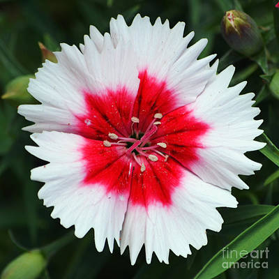 Dianthus Red And White Flower Decor Macro Square Format Art Print