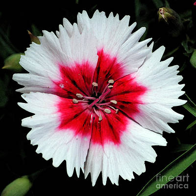 Digital Art - Dianthus Red And White Flower Decor Macro Square Format Watercolor Digital Art by Shawn O'Brien