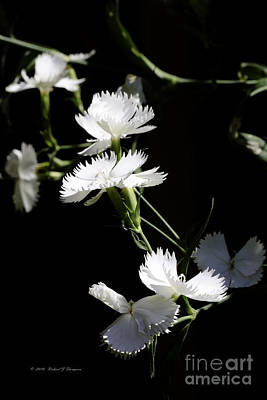 Photograph - Dianthus by Richard J Thompson
