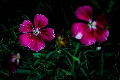 Photograph - Dianthus Singapore Flower by Donald Chen