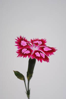 Photograph - Dianthus Still Life by Robert  Moss