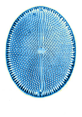 Photograph - Diatom, From Bori, Hungary, Early by Science Source