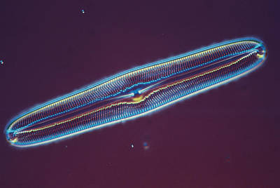Photograph - Diatom - Pinnularia Major by Perennou Nuridsany