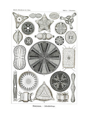 Art In Nature Drawing - Diatomea by Splendid Art Prints