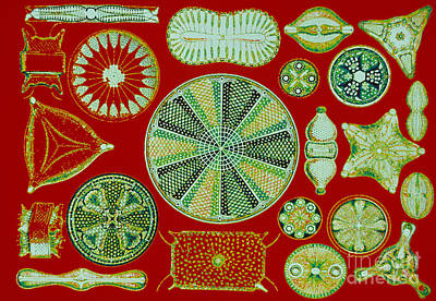 Photograph - Diatoms-ernst Haeckel by Scott Camazine