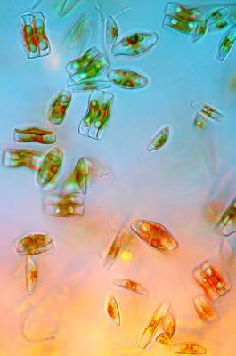 Diatoms Photograph - Diatoms, Lm by Marek Mis