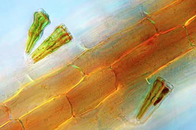 Diatoms On Duckweed Art Print by Marek Mis