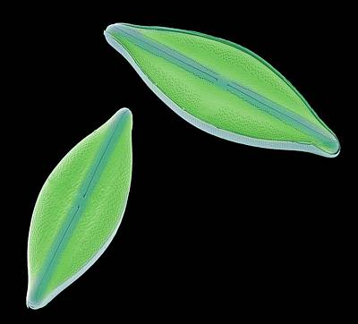 Unicellular Photograph - Diatoms by Steve Gschmeissner