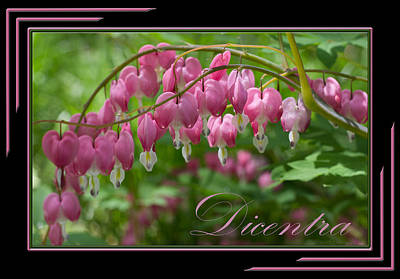 Photograph - Dicentra Bleeding Heart by Patti Deters