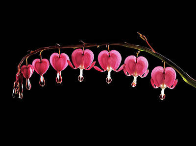 Bleeding Hearts Photograph - Dicentra Spectabilis Flowers by Gilles Mermet