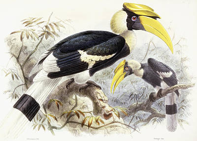 Hornbill Drawing - Dichocerus Bicornis by Johan Gerard Keulemans