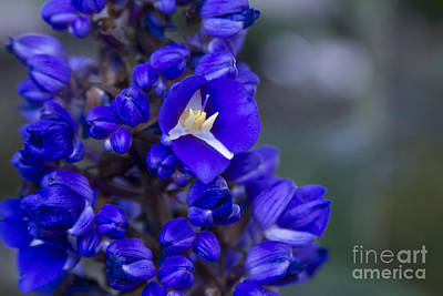 Photograph - Dichorisandra Thyrsiflora - Blue Ginger by Sharon Mau
