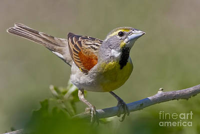 Mellow Yellow - Dickcissel by Gary Holmes