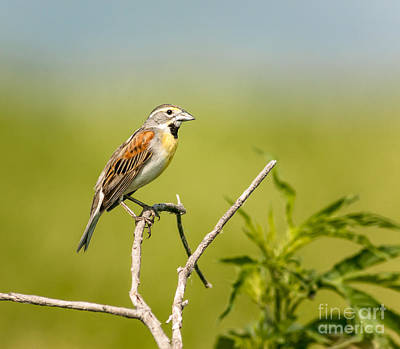 Black Chin Photograph - Dickcissel On A Stick by Robert Frederick