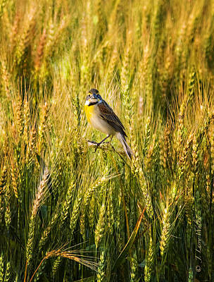 Digital Art - Dickcissel Posing On Wheat Head by J Larry Walker
