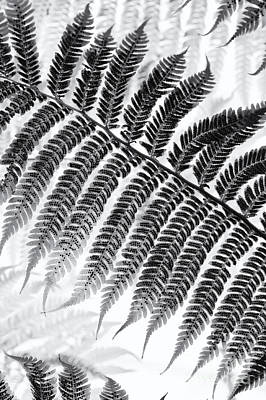 Dicksonia Antarctica Tree Fern Monochrome Art Print